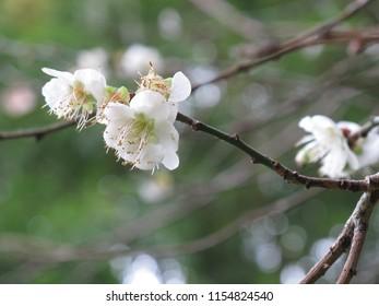 Plum Flower, Northern Part of THAILAND