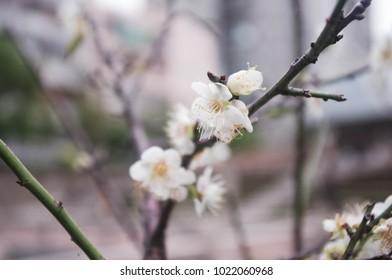 plum flowers blossom.