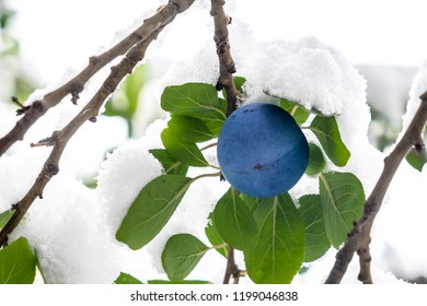 Plum fruit on tree branch covered with snow