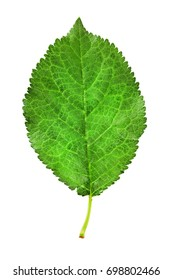 plum leaf isolated on a white