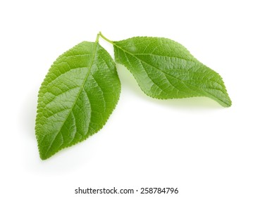 plum leaf isolated with shadow