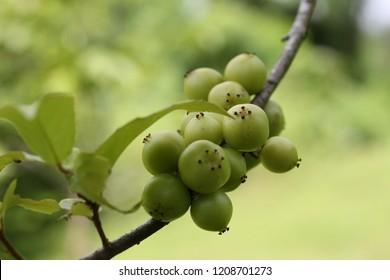 Plum of Martinique (Flacourtiaceae) aka Batoko Plum, Rukam Masam, Lobi-lobi, Thornless Rukam, Lobeh-lobeh.