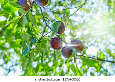 Plum on the branch. Natural juicy eco- plums on a branch against the background of the sun