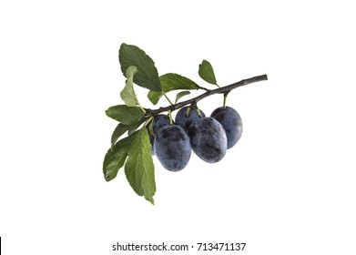 plum on a branch white background