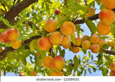 Plum (peach) tree with fruits growing in the garden