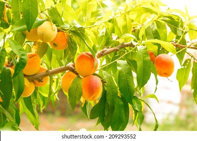 Plum  peach tree with fruits growing in the garden