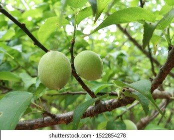 Plum, Prunus mume, green unripe apricots on a tree, Chinese Plums, Plum fruit, japanese apricot fruit, Young fruits of Ume, on the branch.