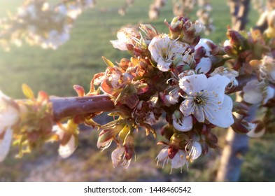 Plum tree in bloom. Flowering fruit tree nuts. European agricultural industry of fruit. Contrasts of natural colors in rural area.
