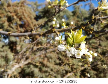 Plum tree in bloom, spring advances in the Iberian Peninsula. Flowering fruit tree nuts. European agricultural industry of dry fruit. Contrasts of natural colors in rural area. Flowering.