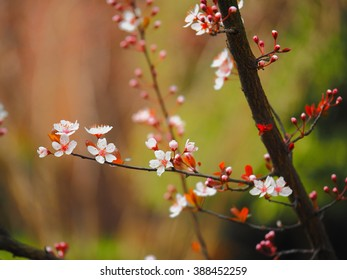 The plum tree blossoms in spring