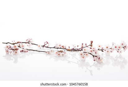 Plum Tree Branch with Pink Blossoms