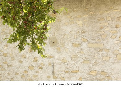 Plum tree branch with stone and concrete wall background in Tuscany.