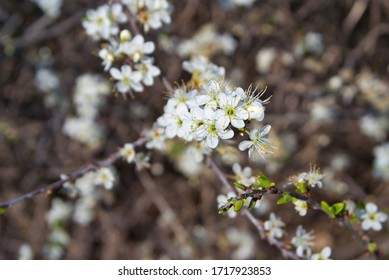 Plum tree covered in white flowers in blossom