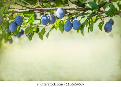 A plum tree in the garden. Plum branch with ripe fruits in the orchard. Natural backdrop with copy space.