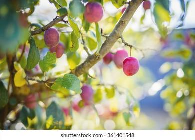 Plum tree with purple plums