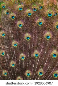 Plumage of the Indian peafowl (Pavo cristatus), also known as the blue peafowl.