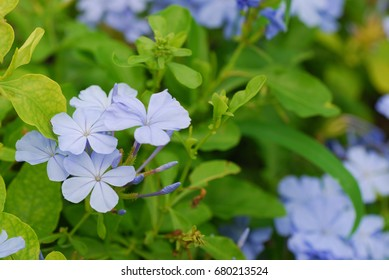 Plumbago auriculata common names white plumbago stock photo safe to plumbago auriculata common names white plumbago blue plumbago cape plumbago or cape mightylinksfo