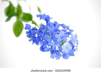 Plumbago auriculata, Sky flower, Cape leadwort flowers on white background close up. Selective focus.