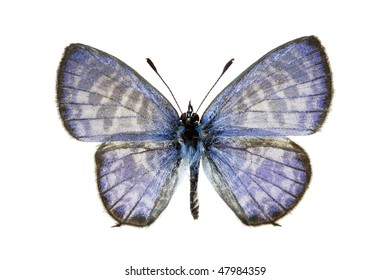 Plumbago Blue, Leptotes plinius, male, australian butterfly, isolated on white, wingspan 22mm