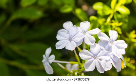 Plumbago tropical flowers on diffused background