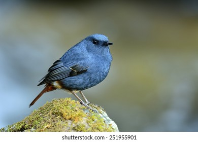 Plumbeous Water Redstart, the cute blue bird standing on the rock with nice soft water in background