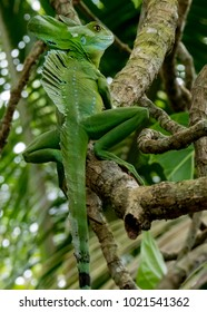 Plumed basilisk AKA emerald basilisk (Basiliscus plumifrons), Cahuita National Park, Costa Rica
