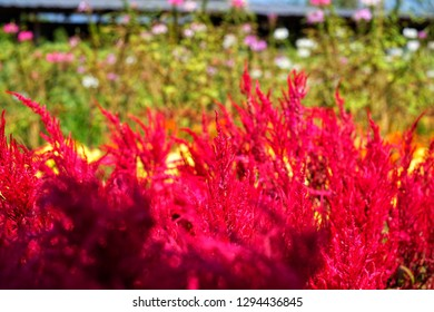 Plumed Celusia red flower, available on Valentine's Day