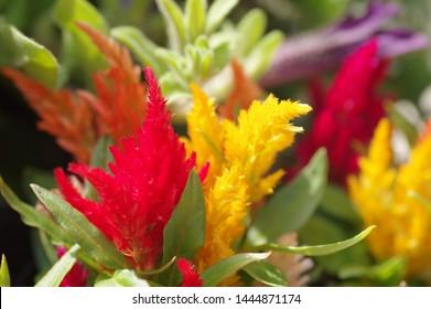 plumed cockscomb, celosia, Celosia cristata