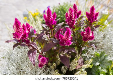 Plumed cockscomb flower (Silver cock's comb) herbaceous plant growing outdoor in the sun (Celosia argentea)