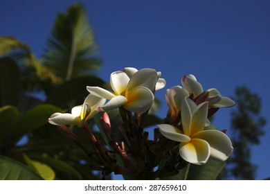 Plumeria alba,spring, background, flowers, flower, nature, floral, garden, summer, beautiful, landscape, pink, blossom, white, tree, green, sun, field, season, beauty, natural, plant, botany, blooming