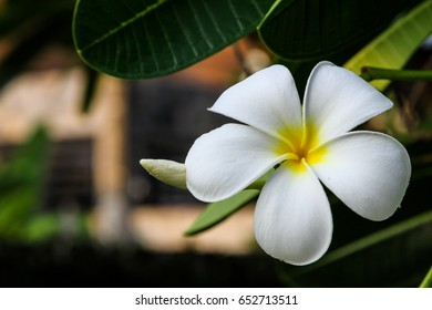 Plumeria blooming in Summer at sunset.