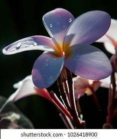 plumeria blossom in afternoon light with raindrops