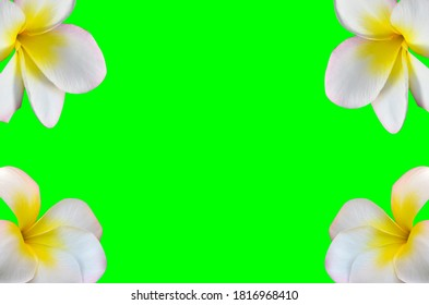 plumeria blossom blooming  isolated on green screen background clipping path included