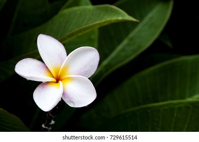the plumeria flower