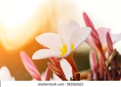 Plumeria flower blooming in the morning sun.