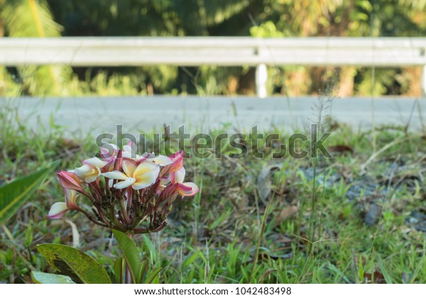 Plumeria flower with blurred road  background.
