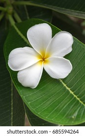 plumeria flower with green nature background