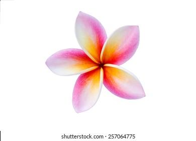 plumeria flower isolate on white