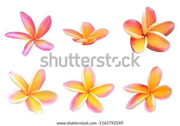 plumeria flower isolated on white