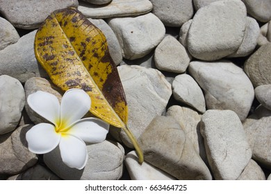 plumeria flower with leaf on the many stone