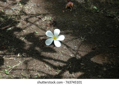 Plumeria flower lying on the ground with sunlight and shadows
