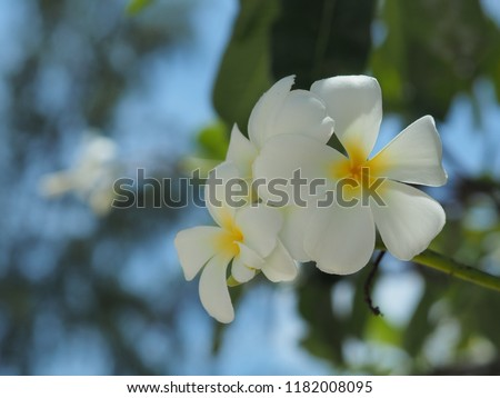 c9297e55a Plumeria, flower for the meaning of left the sad behind