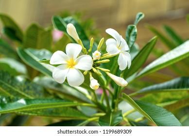 Plumeria flower, national flower of South Thailand, shot on Koh Lanta.
