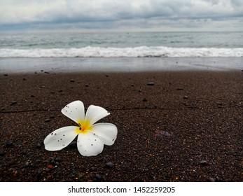 Plumeria flower on black sand beach , Bali, Indonesia