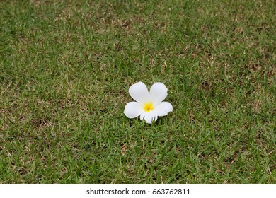 Plumeria flower on grass
