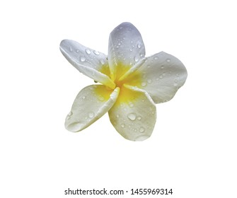 plumeria flower  with rain drop  isolate on white background with clipping path