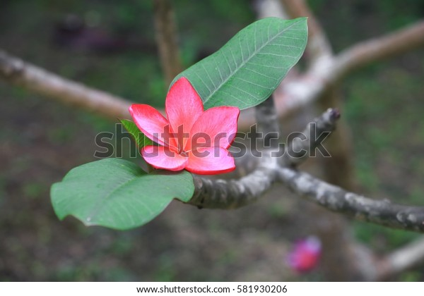 plumeria flower red or desert rose beautiful on tree  ( Common name Apocynaceae, Frangipani, Pagoda, Temple )