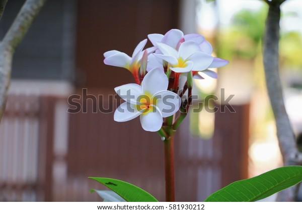 Plumeria flower white beautiful on tree ( Common name pocynaceae,  Frangipani , Pagoda tree, Temple tree )