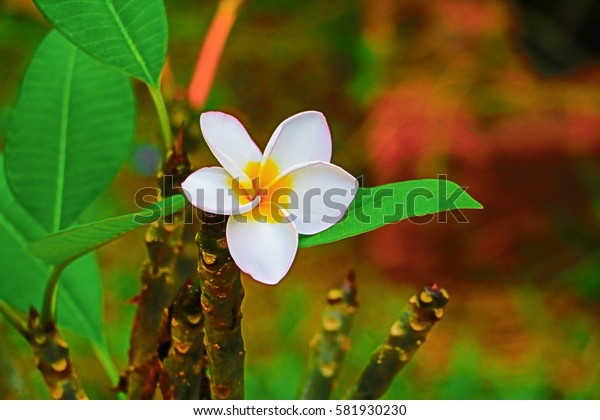 Plumeria flower white beautiful on tree ( Common name pocynaceae,  Frangipani , Pagoda tree, Temple tree )