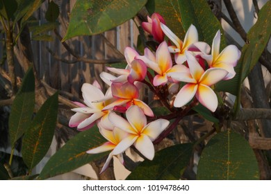 Plumeria flower yellow and pink color